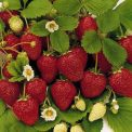 EverbearingStrawberries-1