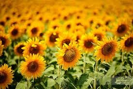 Sunflower Glory!!